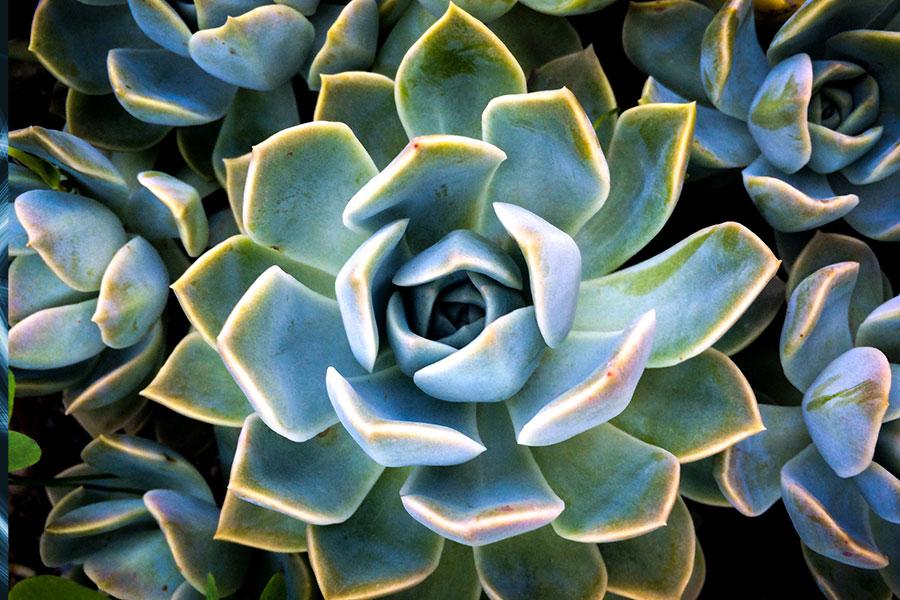 green-succulent-900px